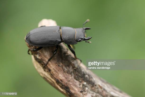 a lesser stag beetle, dorcus parallelipipedus, perching on a tree stump in woodland. - beetles with pincers stock pictures, royalty-free photos & images