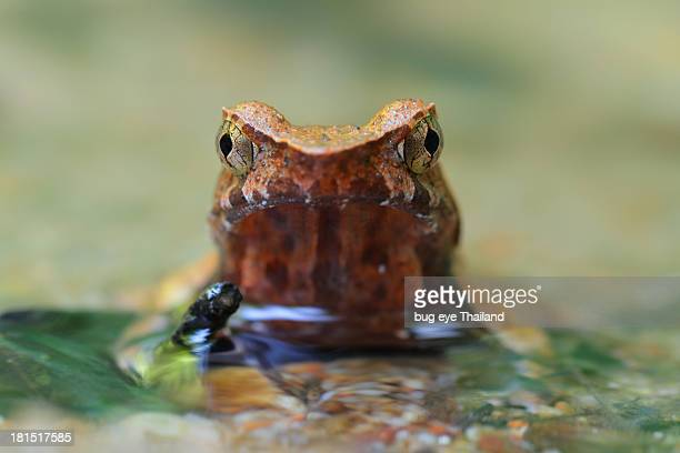 lesser stream horned frog - horned frog stock photos and pictures