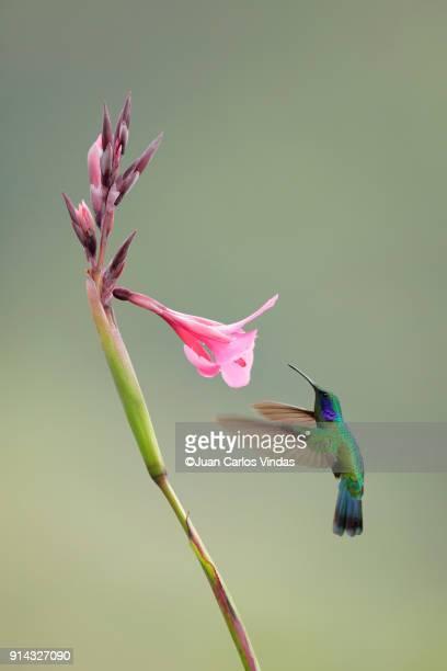 lesser violetear - beija flor imagens e fotografias de stock