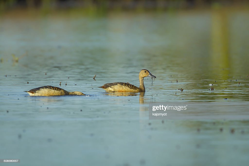Lesser whistling duck : Stock Photo