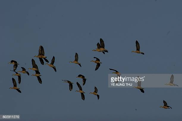 Lesser whistling ducks fly at the Moe Yun Gyi wetlands in Bago Division around 70 miles north of Yangon on December 23 2015 Myanmar has one of the...