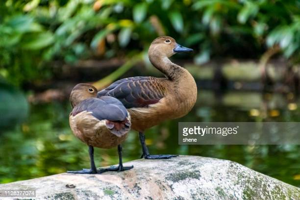 lesser whistling ducks - jurong bird park stock pictures, royalty-free photos & images