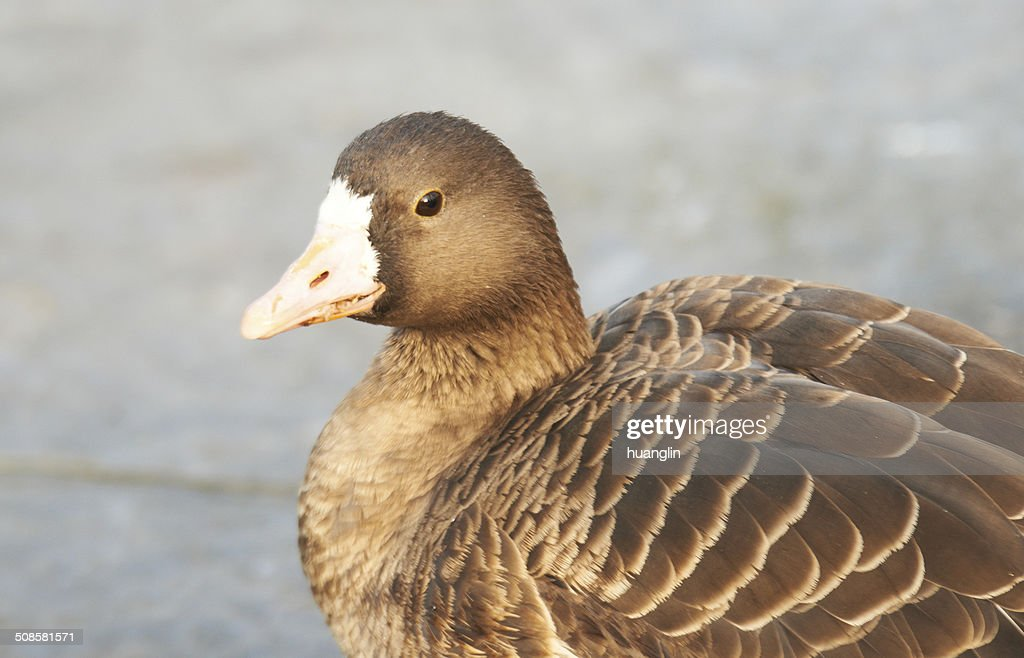 Lesser White-fronted Goose : Stock Photo