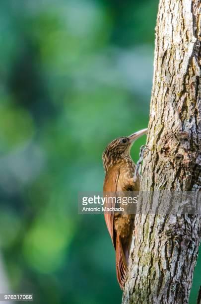 Lesser Woodcreeper (Xiphorhynchus fuscus)perching on trunk, Goiania, Brazil