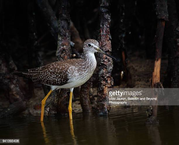 Lesser Yellow Legs Against Dark Background at Fort Myers Beach, Florida