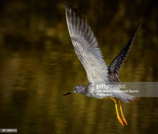 Lesser Yellow Legs in Flight with Wings Up and Legs Down