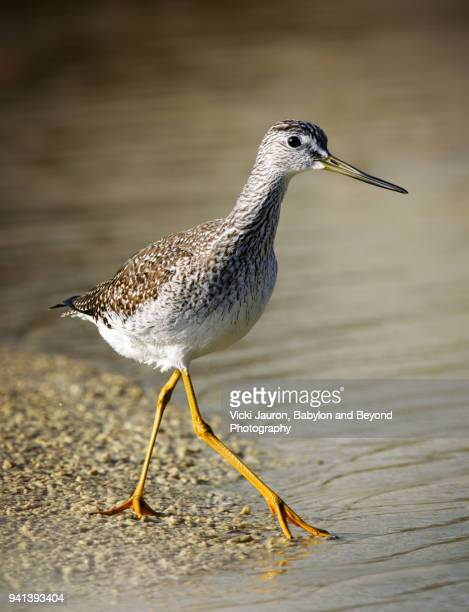 Lesser Yellow Legs Wading Along the Lagoon at Fort Myers Beach, Florida