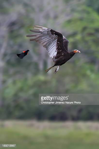 lesser yellow-headed vulture - christopher jimenez nature photo stock pictures, royalty-free photos & images