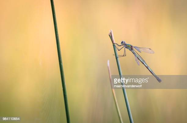lestes sponsa in ambient colors - sponsa stock photos and pictures