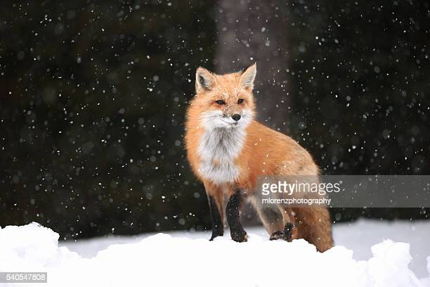 let it snow - red fox stock photos and pictures