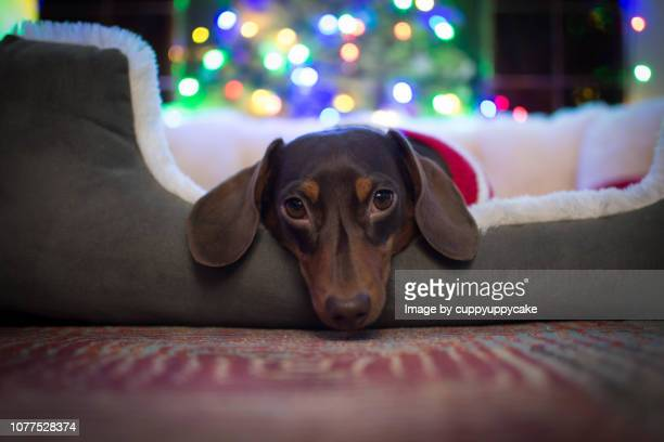 let sleeping dogs lie - dachshund christmas stock pictures, royalty-free photos & images