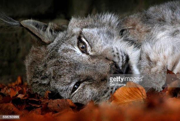 let sleeping lynxes lie... - lynx stock photos and pictures