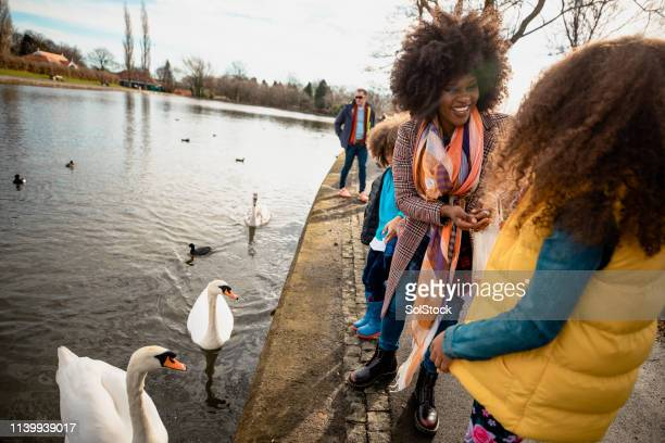 let's feed the swans! - 40 49 years stock pictures, royalty-free photos & images