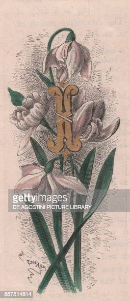 Letter A drop cap letter watercolour engraving cm 10x5 by Frederick Edward Hulme from The familiar Garden Flower circa 1880