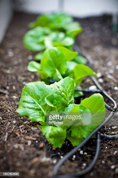 lettuce & drip irrigation - irrigation equipment stock pictures, royalty-free photos & images