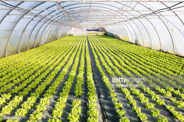 lettuce crop on a greenhouse - big bulge stock pictures, royalty-free photos & images