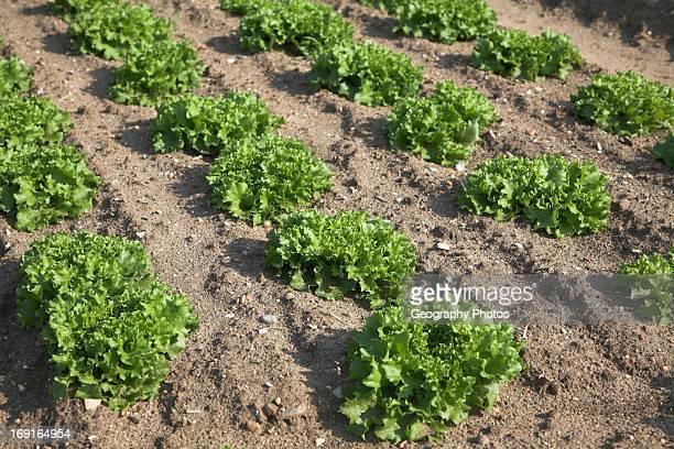 Lettuce crops growing in field Bawdsey Suffolk England