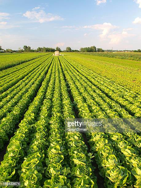 lettuce farm - lettuce stock pictures, royalty-free photos & images