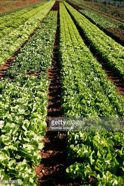 Lettuce field in Esslingen am Neckar, Baden-Wuerttemberg, Germany, Europe