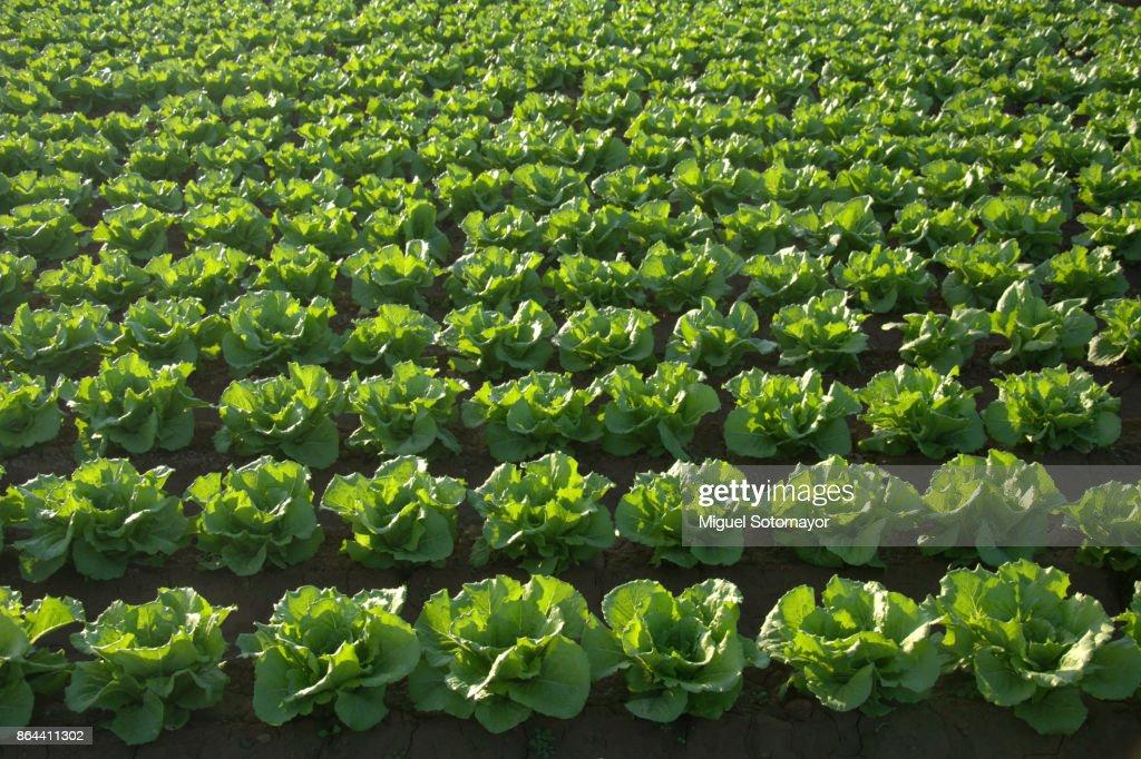 Lettuce Field : Stock Photo