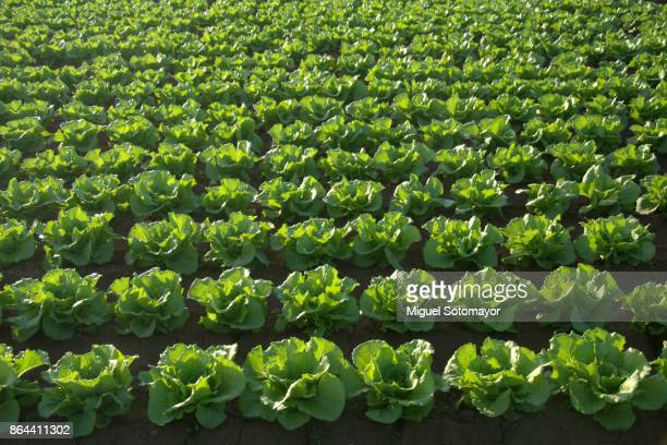 lettuce field - lettuce stock pictures, royalty-free photos & images