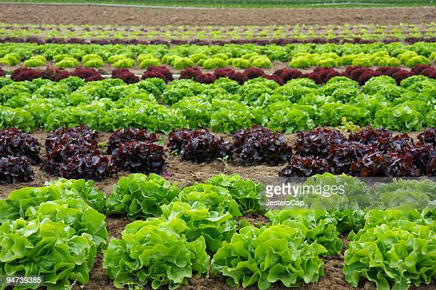 lettuce field - romaine lettuce stock photos and pictures