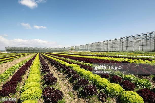 Lettuce field, Reichenau island, Baden-Wurttemberg, Germany