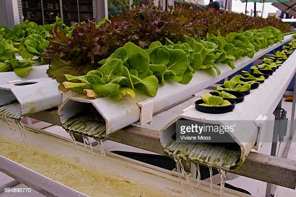 Lettuce growing by using the nutrient film technique with the recirculating hydroponic system