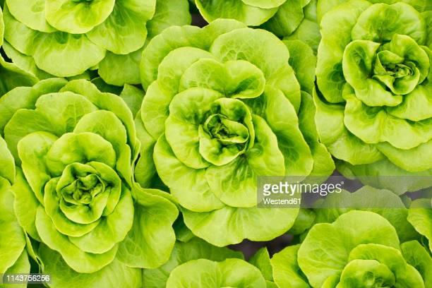 lettuce growing in greenhouse - lettuce stock pictures, royalty-free photos & images