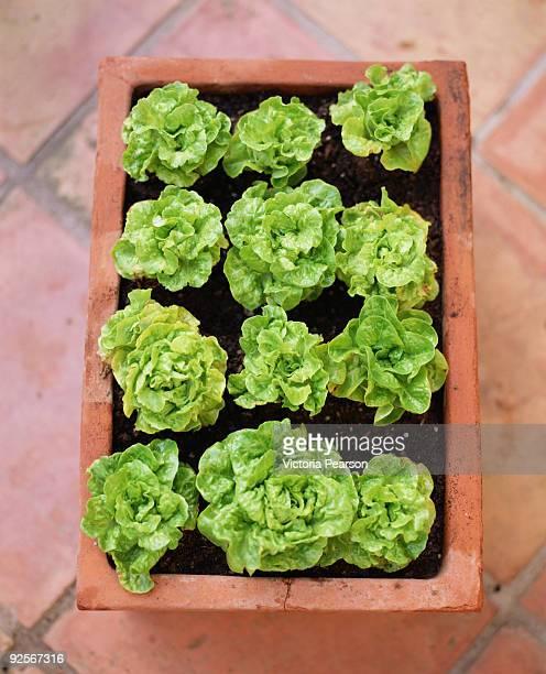 Lettuce growing in pot
