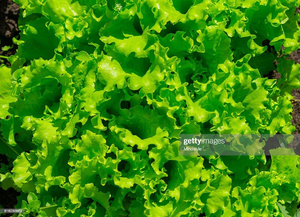Lettuce growing in the garden : Stock Photo