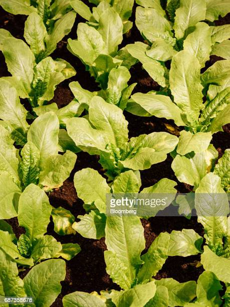 Lettuce grows inside the greenhouse at the Stone Barns farm in Pocantico Hills New York US on Friday April 21 2017 As customers are increasingly...