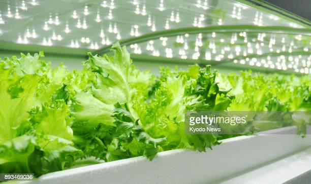 Lettuce is cultivated with hydroponic farming techniques at an underground factory operated by Itoh Denki Co in Chiba Prefecture on Dec 13 2017...