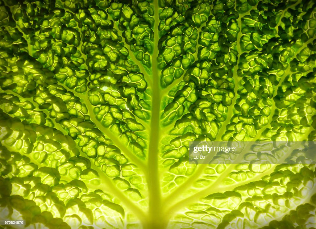 Lettuce leaf detail : Stock Photo