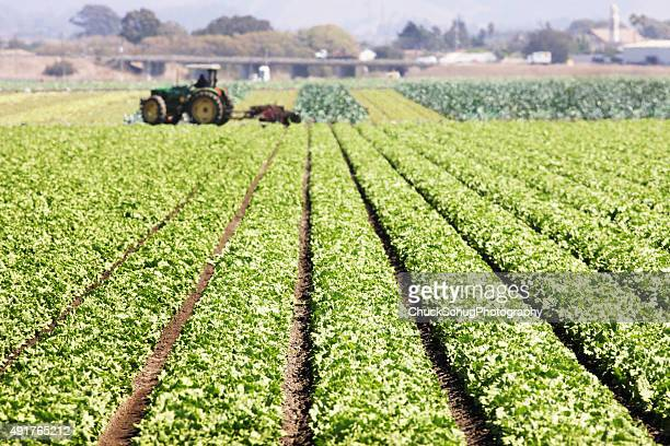 lettuce leaf vegetable grocery crop - romaine lettuce stock photos and pictures