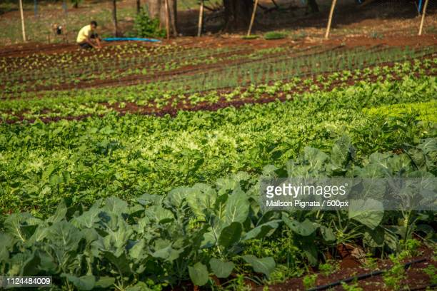lettuce - son la province stock pictures, royalty-free photos & images