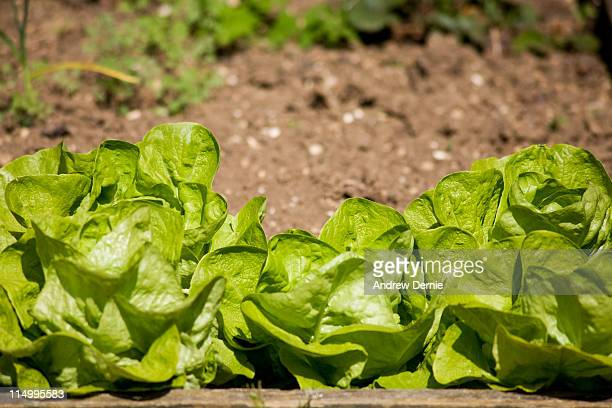 lettuce - andrew dernie stock pictures, royalty-free photos & images