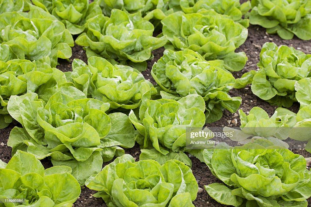 Lettuce : Stock Photo