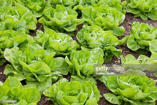 lettuce - andrew dernie photos et images de collection