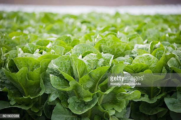 lettuce - romaine lettuce stock photos and pictures