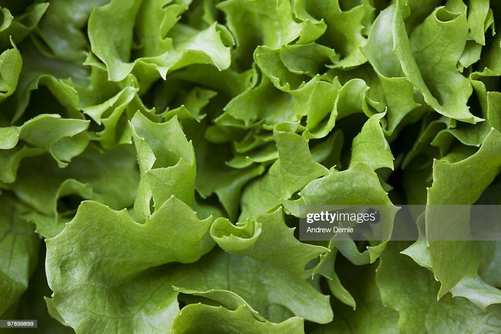 Lettuce : Foto de stock
