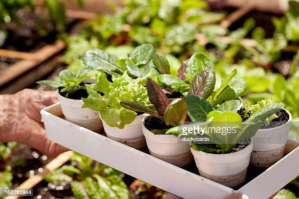 lettuce plants and garden - leaf lettuce stock photos and pictures