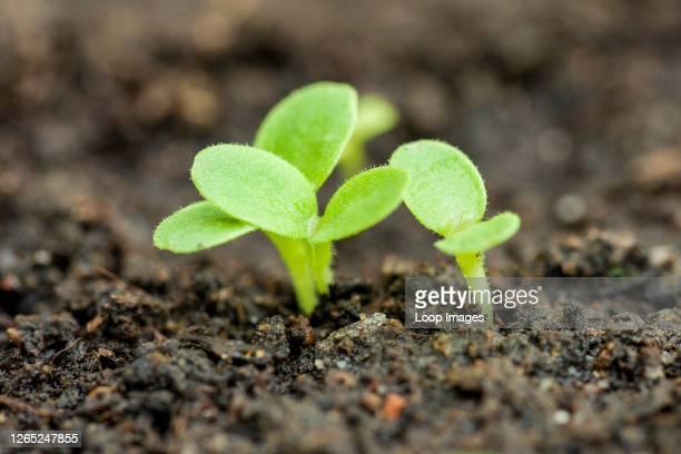 Lettuce seedlings germinating in compost.