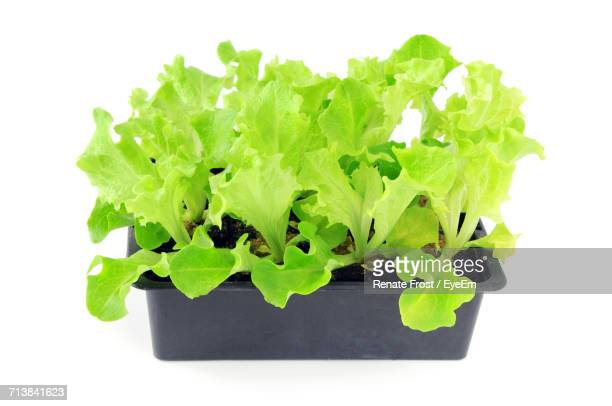 Lettuce Seedlings On A Tray Box Against White Background