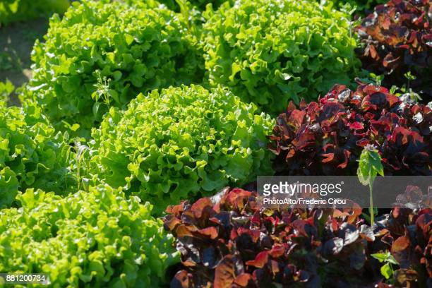 lettuces growing in garden - leaf lettuce stock photos and pictures