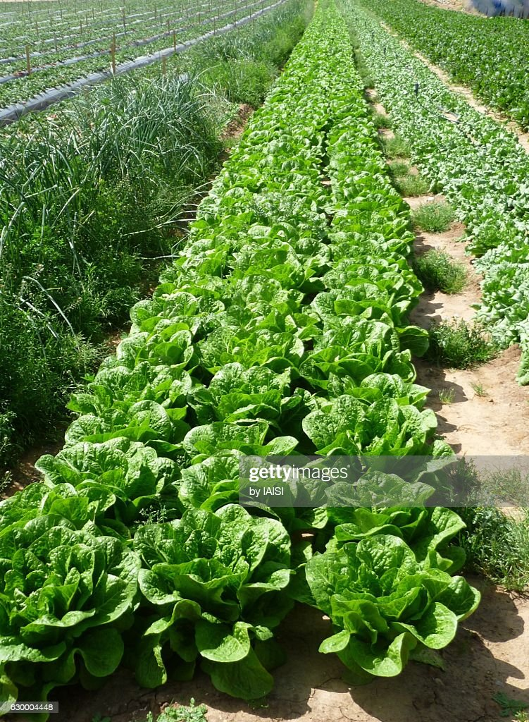 Lettuces in a row in the plains of central Israel : Stock Photo