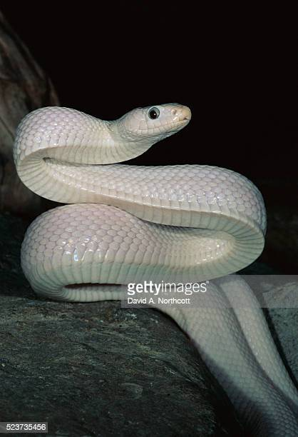 Leucistic Black Rat Snake