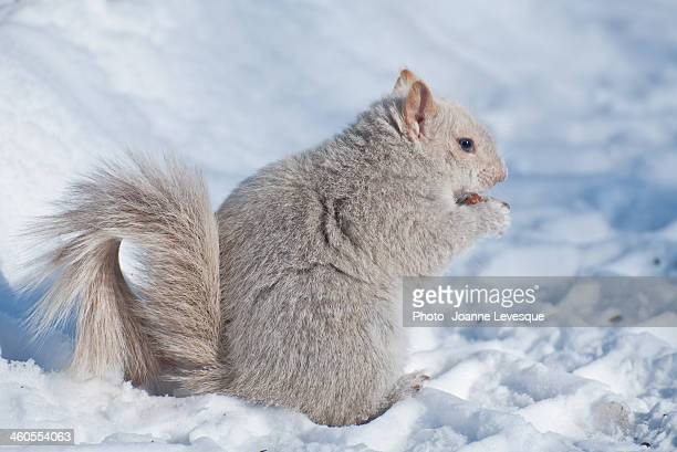Leucistic Squirrel (Partly Albino) in the snow