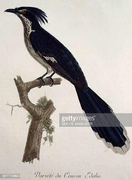 Levaillant's Cuckoo engraving from the Histoire Naturelle des Oiseaux d'Afrique by Francois Le Vaillant France 18th19th century