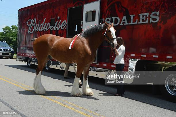 Levi a world renowned Clydesdale prepares to make an appearance during a visit to the CMA Office on June 4 2013 in Nashville Tennessee